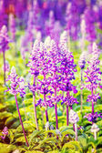 Beautiful flowerbed with Sage, Salvia nemarosa Pattern effects — Stock Photo