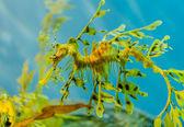 Seahorse — Stock Photo