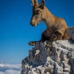 Постер, плакат: Female ibex on mount Montasio in Julian Alps