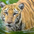 Lonely Tiger — Stock Photo #41831659