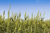 Kłosy pszenicy — Zdjęcie stockowe