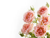 Bouquet of delicate roses — Stock Photo