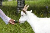 Cabra blanca — Foto de Stock
