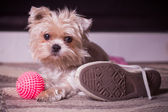 Little dog waiting for his owner — Stock Photo