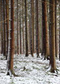 Forest with tall pine trees in winter — Stock Photo