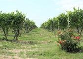 Passage between rows of wine stock at vineyard with roses — Stock Photo