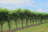 Rij van wijn voorraad op wijngaard in Italië — Stockfoto