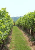 Passage between two rows of wine stock at vineyard — Stock Photo