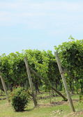 End of rows of wine stock at vineyard in Italy — Stock Photo