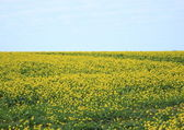 Endless yellow flower field with blue sky and clouds — Stock Photo