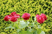 Bunch of red roses with green background — Stock Photo