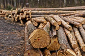 Felling of trees — Stock Photo