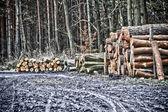 Felling of trees in forest — Foto de Stock