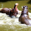 Hippo Fight — Stock Photo #39780333