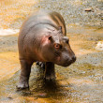 Baby Hippopotamus — Stock Photo #41691517