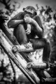 Chimpanzé — Fotografia Stock