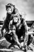 Chimpanzees — Stock Photo