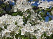Kvetoucí hruška — Stock fotografie