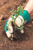 Hand holding a tomato seedling — Stock Photo
