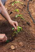 Hands planting a pepper seedling — Stock Photo