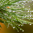 Stock Photo: Green pine branch after rain