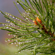 Green pine branch after rain — Stock Photo