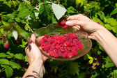 Girl pick raspberries in a glass bowl — Stock Photo