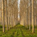 ������, ������: Poplars alley