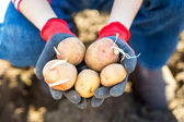 Fresh potatoes in female farmer's hands — Photo