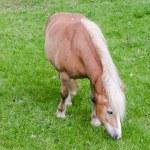 ������, ������: Pony beim Grasen