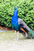 Pheasant bird peafowl — Stock Photo