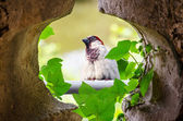 Sparrow in the wall opening — Stock Photo