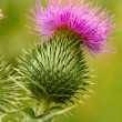 Stock Photo: Thistle