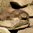 Otter — Stock Photo #39573543