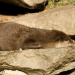 Otter — Stock Photo #39573545