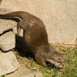 Otter — Stock Photo #39573547