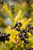 Frutas silvestres — Fotografia Stock