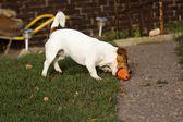 Little dog — Zdjęcie stockowe