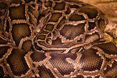 Snake — Foto de Stock