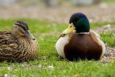 Duck — Stockfoto