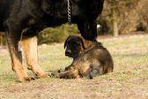Küçük köpek — Stok fotoğraf
