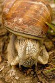 Snail — Stock fotografie