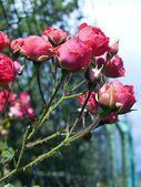 Róże — Zdjęcie stockowe