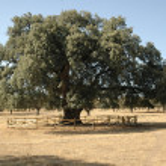 Holm oak La terrona — Stock Photo #39266141