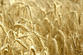 Wheat Spikelet — Stock Photo