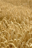 Spikelets of wheat against the background of a wheat field, sele — Foto de Stock