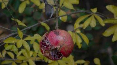 Sardinian warbler — 图库视频影像