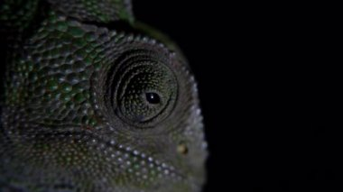 Common chameleon — Stock Video