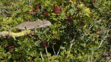 Chameleon hunting — Stock Video