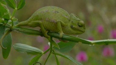 Common chameleon — Stock Video